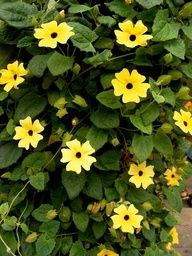Black Eyed Susan Vine; The fast-growing Black Eyed Susan Vine (also called the Thunbergia or Clock Vine) adds a little drama with its solid black eye, framed by sunny yellow, white, or bold orange flowers. Theyre easy to grow from seed, prefer full sun, and grows 6 to 8 feet tall: TreeHugger