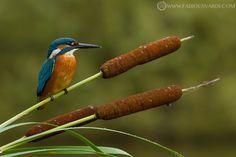 Common kingfisher (Alcedo atthis) by Fabio Usvardi Kingfisher Tattoo, Kingfisher Beer, Common Kingfisher, Bird Barn, Barn Owls, Flamingo Bird, Flower Bird, Bird Pictures, Colorful Birds