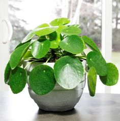 pilea peperomioides care tips, pilea, houseplants, plants, houseplant blog, chinese money plant, pancake plant. visit www.plantsdontwine.com