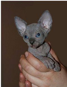 Vraiment cute ce petit sphynx gris <3 Avec de beaux yeux bleus en plus :)