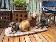 Vizsla and dachshunds