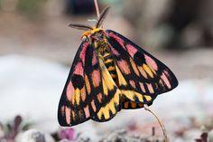 Kingdom Animalia, Common Sheep Moth (by Ken-ichi)
