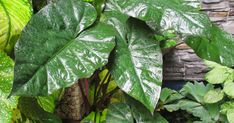 The very fact to note that there are a huge cultivars and hybrids on Alocasia which indeed and impossible task to list down, let alone t... Garden Labels, Different Types, Types Of Plants, Plant Leaves, Names, Let It Be, Image