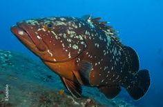 Resultado de imagem para mero peixe Merida, Turtle, Fish, Animals, Pisces, Turtles, Animales, Animaux, Tortoise