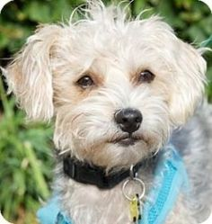 Beverly Hills, CA - Terrier (Unknown Type, Small)/Poodle (Miniature) Mix. Meet Jade a Dog for Adoption. by janice