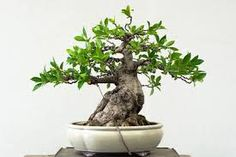 ficus plant bonsai - Google Search
