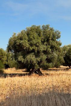 Apulian olive grove