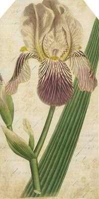 Iris ~ free vintage printables, more than just tags