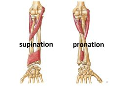 Forearm positions. Supination refers to the palms facing foward and the radius and ulna are parallel. Pronation refers to palms facing rearward and the radius and ulna are crossed.