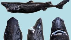 The recently discovered ninja lanternshark, 30-50 centimetres can cloak itself by giving off a bluish light that effectively renders it invisible. The inky-black fish already has the camouflage of darkness in the deepsea levels. But it's also covered in photophores — tiny dots that can emit light, cloaking the fish in a bluish glow and making it invisible to prey or predators below