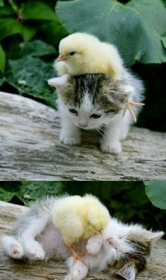 kitten & chick...aww cute!!