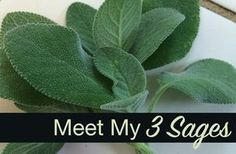 Let me introduce them to you and one of my very favorite ways to prepare them!   #sage #herbalkitchen #planthealers