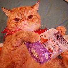 This for me? (Verklempt)  #exoticshorthair #cat #cute #flatface #meow #mreggs #catlover #exoticsofinstagram #smushface #buzzfeedcats #proplancat @proplancat
