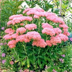 Autumn Joy Sedum...blooms in fall.  Very compact, round, full plant with thick, succulent foliage that is pretty even when not blooming