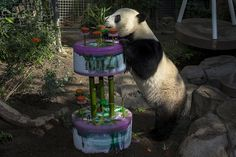 Yun Zi celebrated his 3rd birthday yesterday. Join us on Sunday at 9am to see him enjoy another ice cake & treats.