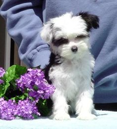 Chinese Crested Powderpuff, this is exactly what my dog looked like when he was a puppy! Patches