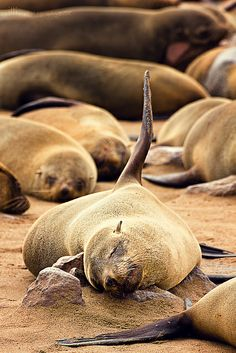 lovely, stinky Cape Fur Seals
