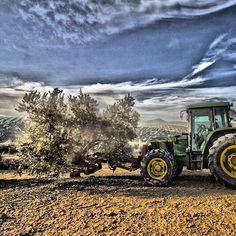 Agitando el olivo