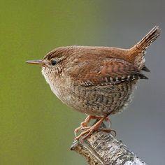 FLAIR FAIRY: The wren song