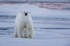 Polar bear in the blue sunset light by Brice Petit on 500px
