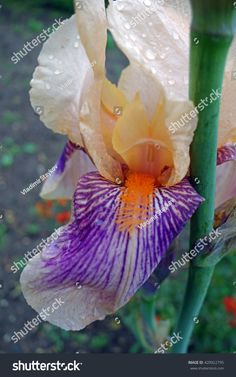 photography of iris flowers close up - Yahoo Image Search Results Iris Flowers, Yahoo Images, Close Up, Image Search, Plants, Photography, Photograph, Photo Shoot, Plant