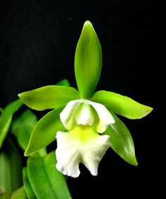SeattleOrchid.com - Epicattleya Landwoods orchid.  Rich green and white flowers on this striking hybrid!
