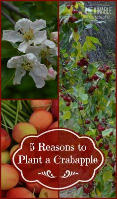 Crabapples might not be the first fruit you think of planting, but they are a great choice, for a variety of reasons!
