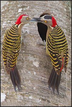 Hispaniolan Woodpecker (Melanerpes striatus) endemic to the Caribbean island of Hispaniola (Haiti and the Dominican Republic).