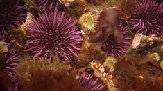 Watch sea urchins turn themselves inside out to be reborn | PBS NewsHour