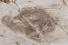 Chinese fossils reveal that ancient birds had feathers on their legs, prompting some to call them four-winged birds. Some scientists think these wings helped the birds to fly, while others think they were used in courtship.  Science/AAAS/LiveScience