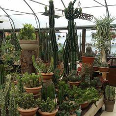euphorbia, landscape, indoor plants, succulents, garden
