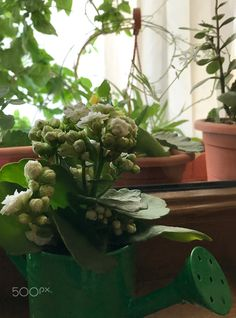 White Kalanchoe - White mini kalanchoe in watering can, mobile shot.