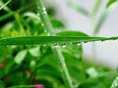 Jemina Staalon Veden vuosi 2: pisaroita, pisaroita Plant Leaves, Herbs, Water, Plants, Gripe Water, Herb, Flora, Plant, Planting
