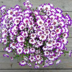 """26 Beğenme, 1 Yorum - Instagram'da Pan Çiçekçilik (@pancicek): """"Asteraceae cineraria (sinerelya) humus bakımından zengin bahçe toprağını severler. Çok fazla…"""""""