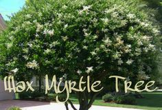 "Wax Myrtle Tree  These trees are wonderful smelling trees, sometimes know by ""Southern bayberry"" or ""candleberry"" trees. These trees are heat tolerant and drought tolerant. The tree's fruit, grows in clusters during the colder season, and attracts many beautiful birds. The fruit can be boiled and the wax can be collected to make candles with the most calming aroma.These rapid-growing shrubs can grow up to 5 feet per year, and reach full grown heights upwards of 20 feet with an equivalent…"