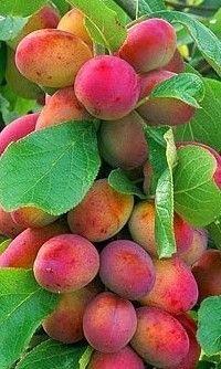 1 VICTORIA PLUM TREE GARDEN FRUIT BUSH APPROX 150CMS