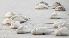 2月頃には高松の池も凍り、白鳥も氷上で寝ます