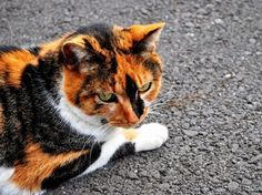 Tortoiseshell Cat this is what they mean in the warriors books when they talk about the tortoiseshell cats they mean calicos