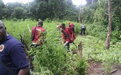 Police Officers NDLEA Officers Protecting Cannabis Dealers   The National Drug Law Enforcement AgencyOsun State Command on August 15 2016 destroyed about 21 hectares of cannabis sativa at the Onikete Farm Settlement in Isokan area of the state. But about 25 kilometres of land which is allegedly being used to cultivate cannabis in the settlement was allegedly spared. It was gathered that the cannabis farm was under the protection of a traditional ruler in one of the communities. A source told…