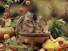 cute kittens in a basket - kittens, cats, animals, fall leaves, pumpkins, cute, basket