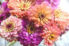 Zinnias Mixed Colors Pastel Zinnias Heirloom Flower Garden Favorite Mountainlily Farm Mix Zinnias