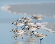 Sanderlings -- my favourite shore bird.  Great photography tips on this website as well.