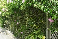 A strongly growing creeper on a trellis is not a good combination, the plant will win this contest.