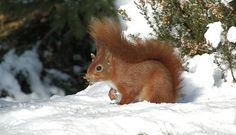 A red squirrel sits in the snow, Rockcliffe.