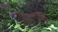 wk 14 Trevor Rasmussen was hiking in Glacier National Park when he was stopped in his tracks by a mountain lion sitting on the trail. He filmed the encounter.