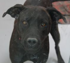 *SYMPHONY - ID#A711106  Shelter staff named me SYMPHONY.  I am a female, black Pit Bull Terrier mix.  The shelter staff think I am about 3 years old.  I have been at the shelter since Apr 19, 2013.