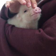 3 weeks old Cute Animal Videos, Funny Animal Pictures, Cute Funny Animals, Cute Baby Animals, Animals And Pets, Cute Baby Pigs, Fluffy Animals, Animals Beautiful, Pet Birds