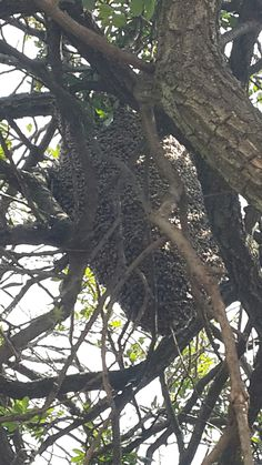 Bee removal in johannesburg bees in the tree