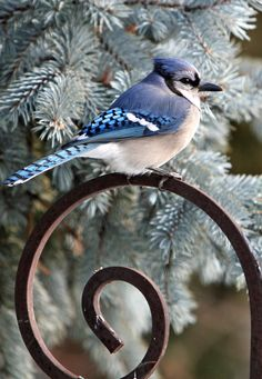 Posing nicely against the Colorado Blue Spruce Linda Hartong Photography. ©All Rights Reserved. 2007 Do not use, copy or edit any of my photographs without written permission. Pretty Birds, Love Birds, Beautiful Birds, Tropical Birds, Colorful Birds, Small Birds, Little Birds, Blue Jay Bird, Cardinal Birds