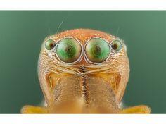 Une araignée myrmécomorphe (qui imite la fourmi) de type castianeira.